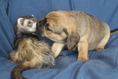 tulip and ferret